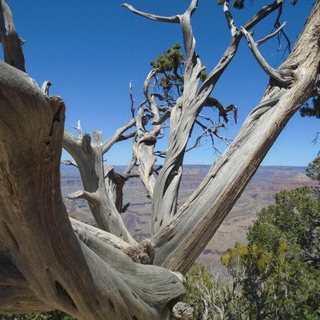 photography tree grand canyon